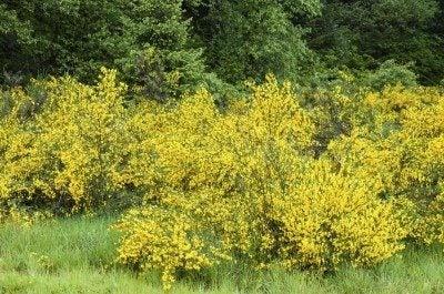 scotch broom maintenance tips on pruning a scotch broom shrub rh gardeningknowhow com