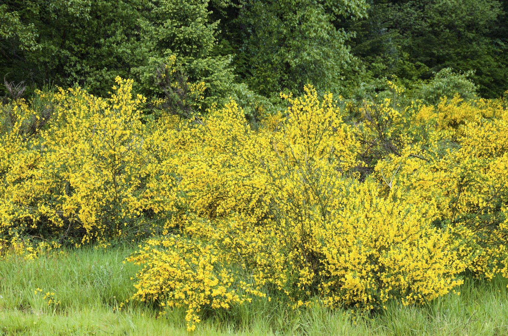 Scotch Broom Maintenance Tips On Pruning A Scotch Broom Shrub