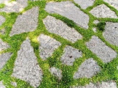 paver plants
