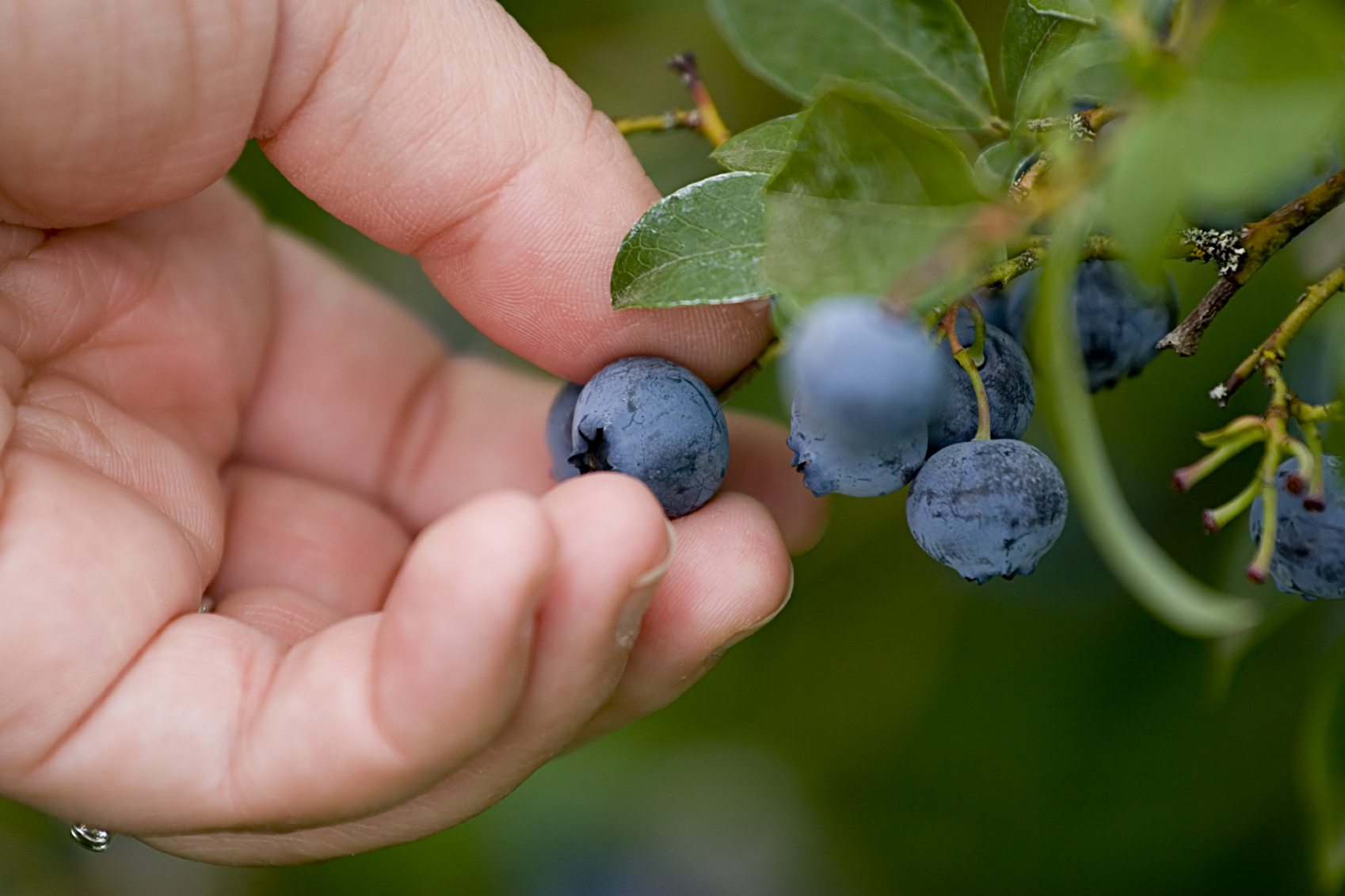 Make it easy for yourself: blueberry harvesting combines - making your own hands, factory options 53
