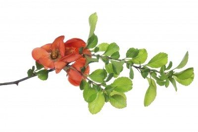 blossoming pomegranate branch isolated on white background