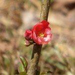 quince-bloom