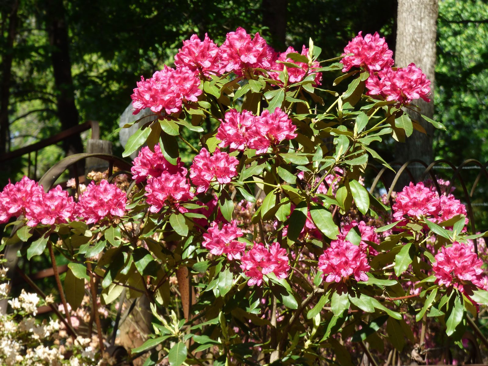 Rhododendron Fertilizer Schedule – When And How To ...