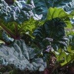 Rhubarb plant in the spring