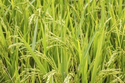 close up jusmin rice field in thailand