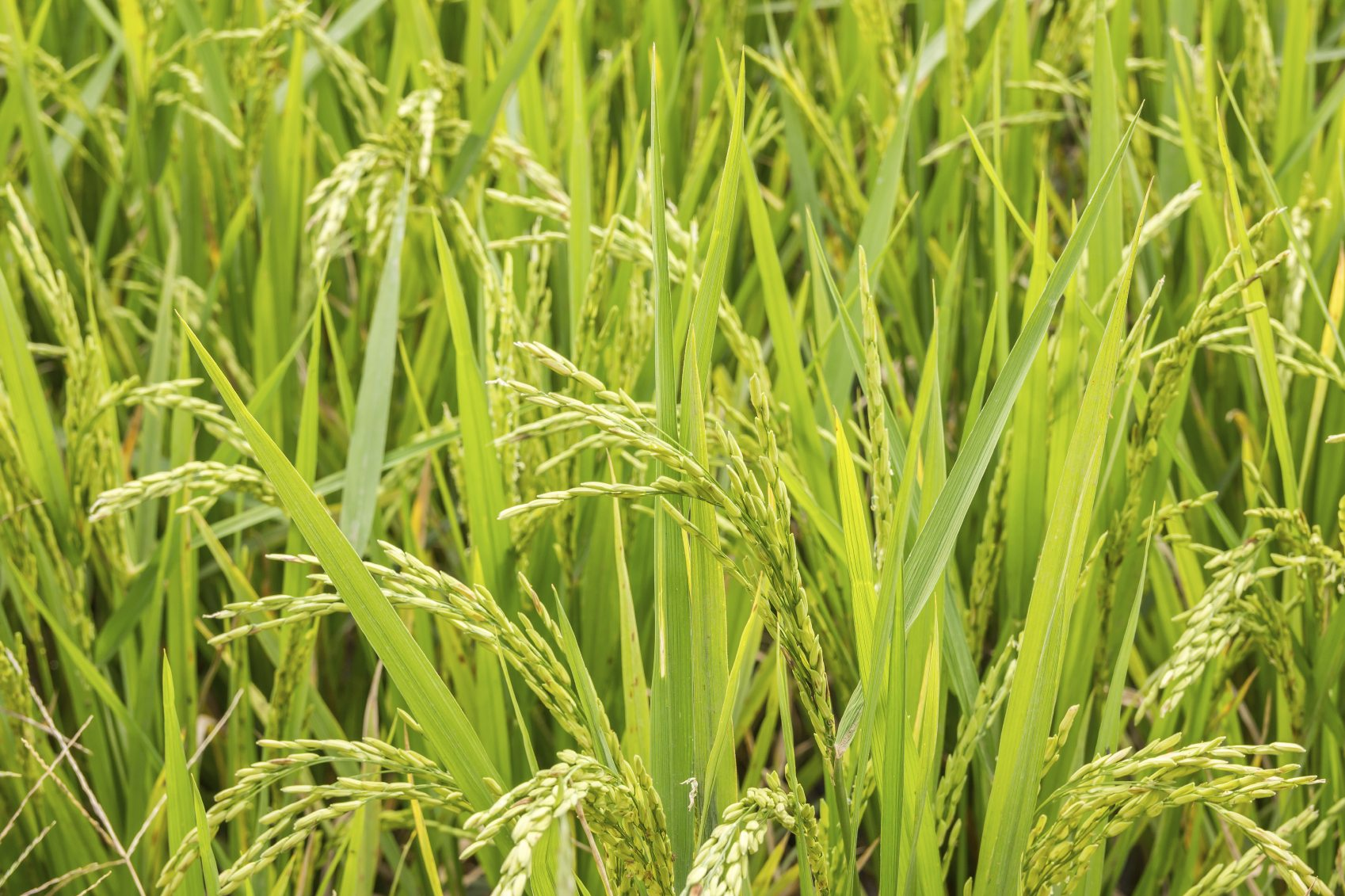 how to plant rice Auto rice milling, auto bricks making, cold storage plant ,- price of auto plant for rice mill ,we provide a-z machinery and equipment of automatic parboiled rice.
