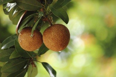 Sapodilla fruits, grown in large quantities in India, Thailand, Malaysia, Cambodia, Indonesia, Bangladesh and Mexico. Chikoo or sapota are other names.