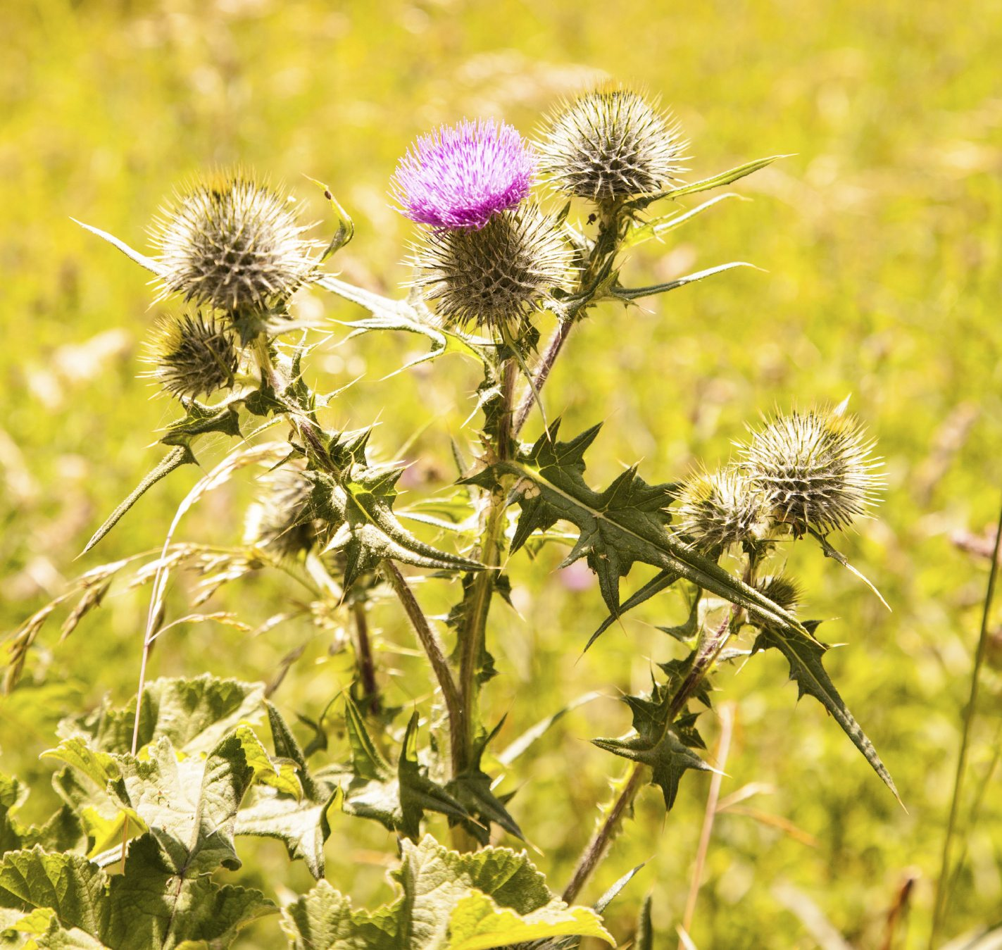 Scotch Thistle Information: How To Control Scotch Thistle In Lawns ...