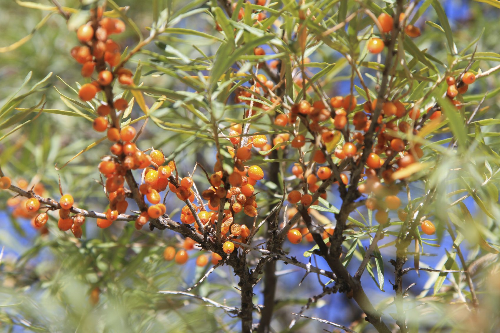 Sea buckthorn information tips on growing sea buckthorn plantssea buckthorn information tips - Growing sea buckthorn ...