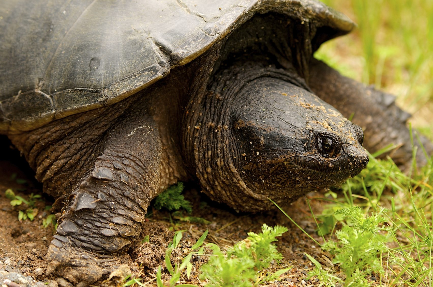Snapping Turtle Control How To Get Rid Of Turtles In My Yard