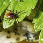 tick in garden