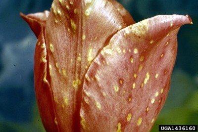 tulip disease