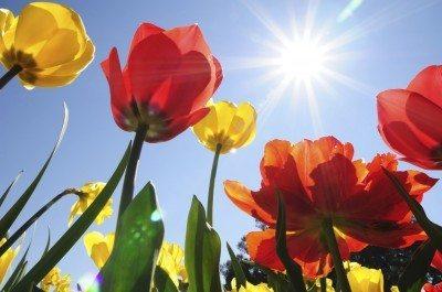 tulips in heat