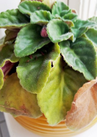 yellow african violet leaves