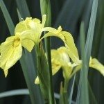 Yellow Flag Iris - Iris pseudacorus