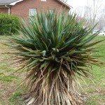 yucca-brown