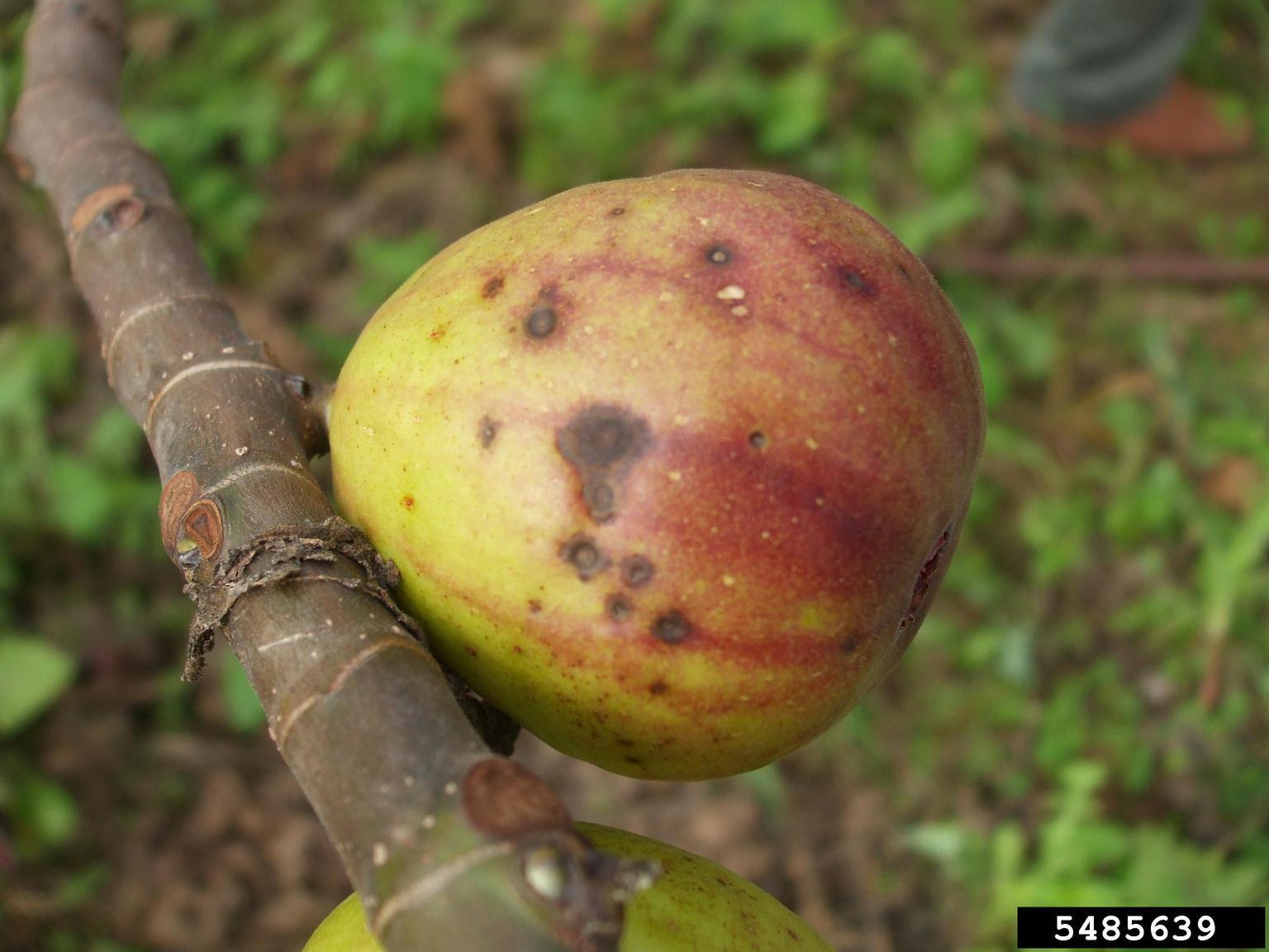 Cercospora Fungus – Cercospora Fruit Spot Causes And Treatment