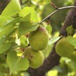 Green unripe apricots on the tree. Selective focus with shallow depth of field.