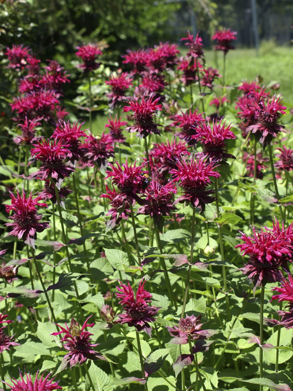Bee Balm Control Learn How To Manage Bee Balm Plants