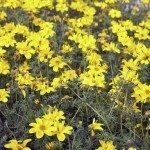 large field of yellow flowers called Bidens in spring