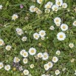 Detailed view at white and yellow blooming Common Daisy or Bellis perennis in their natural habitat.