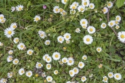 1000 Seeds Bellis Perennis Common Lawn Daisy