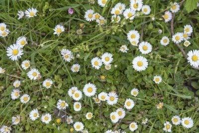 Bellis daisy lawn alternative: using english daisies for lawns