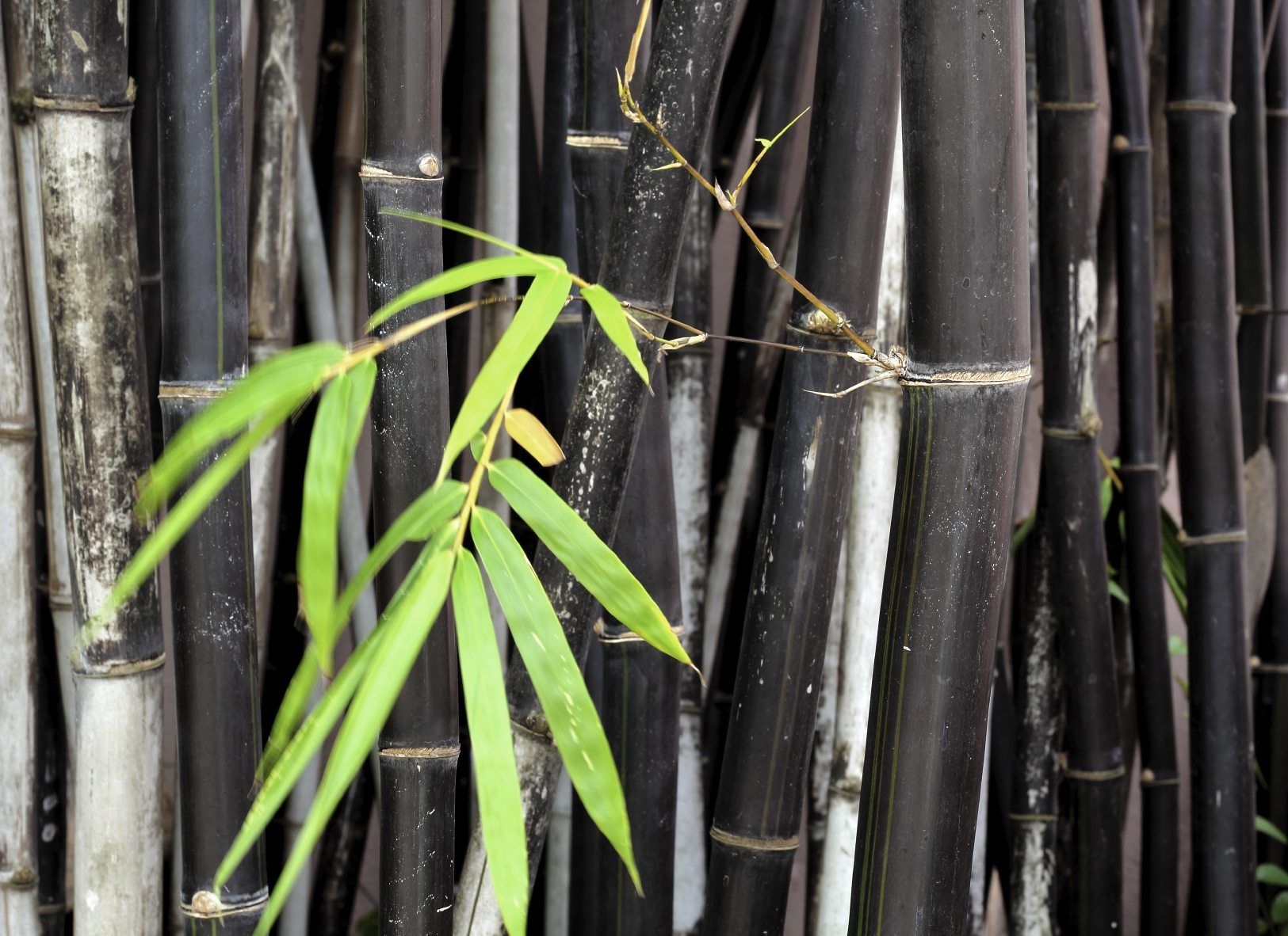 ornamental bamboo fence.htm different types of bamboo learn about bamboo plants for the garden  learn about bamboo plants for the garden