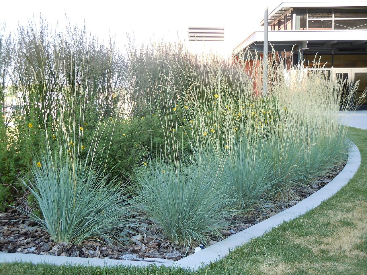 Blue oat grass care tips for growing ornamental blue oat - Garden design using grasses ...