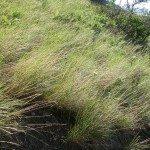 bluebunch wheatgrass