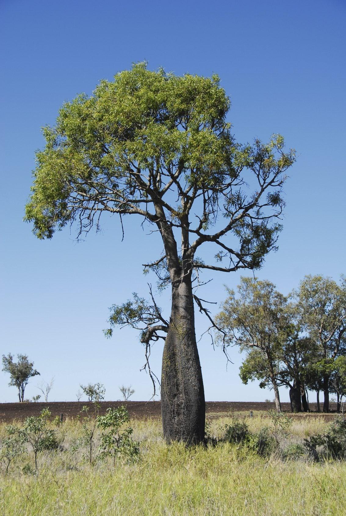 Office Plant Australian Bottle Tree Info Learn About Kurrajong Bottle