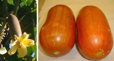 What is cassabanana – how to grow cassabanana plants
