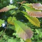 chickapin oak