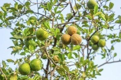 Plant diseases, Citrus canker on lemon.