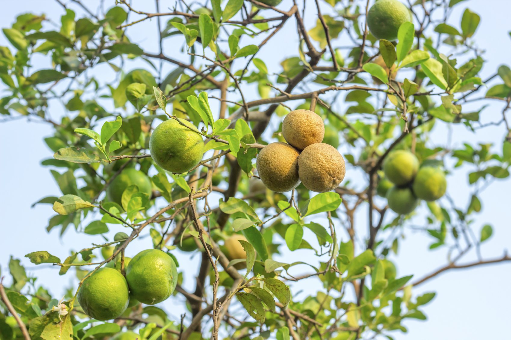 Lemon Diseases And Treatment Tips For