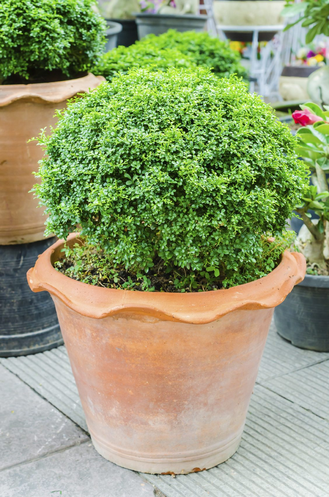 Evergreen Container Plants Learn About Container Grown