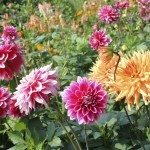 divide dahlias