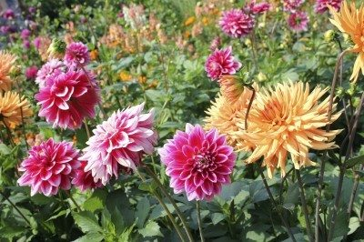 Dividing Dahlia Bulbs How And When To Divide Rs