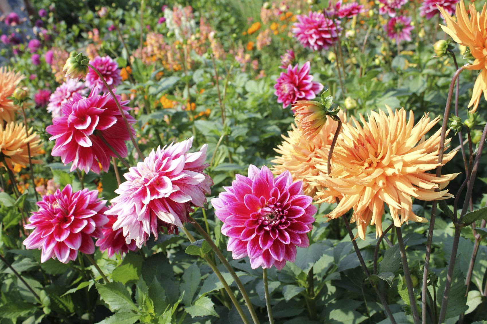 Splitting dahlia tubers learn when and how to divide dahlia clumps izmirmasajfo