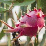 Pitaya on a bush under the sun