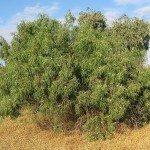 emu bush