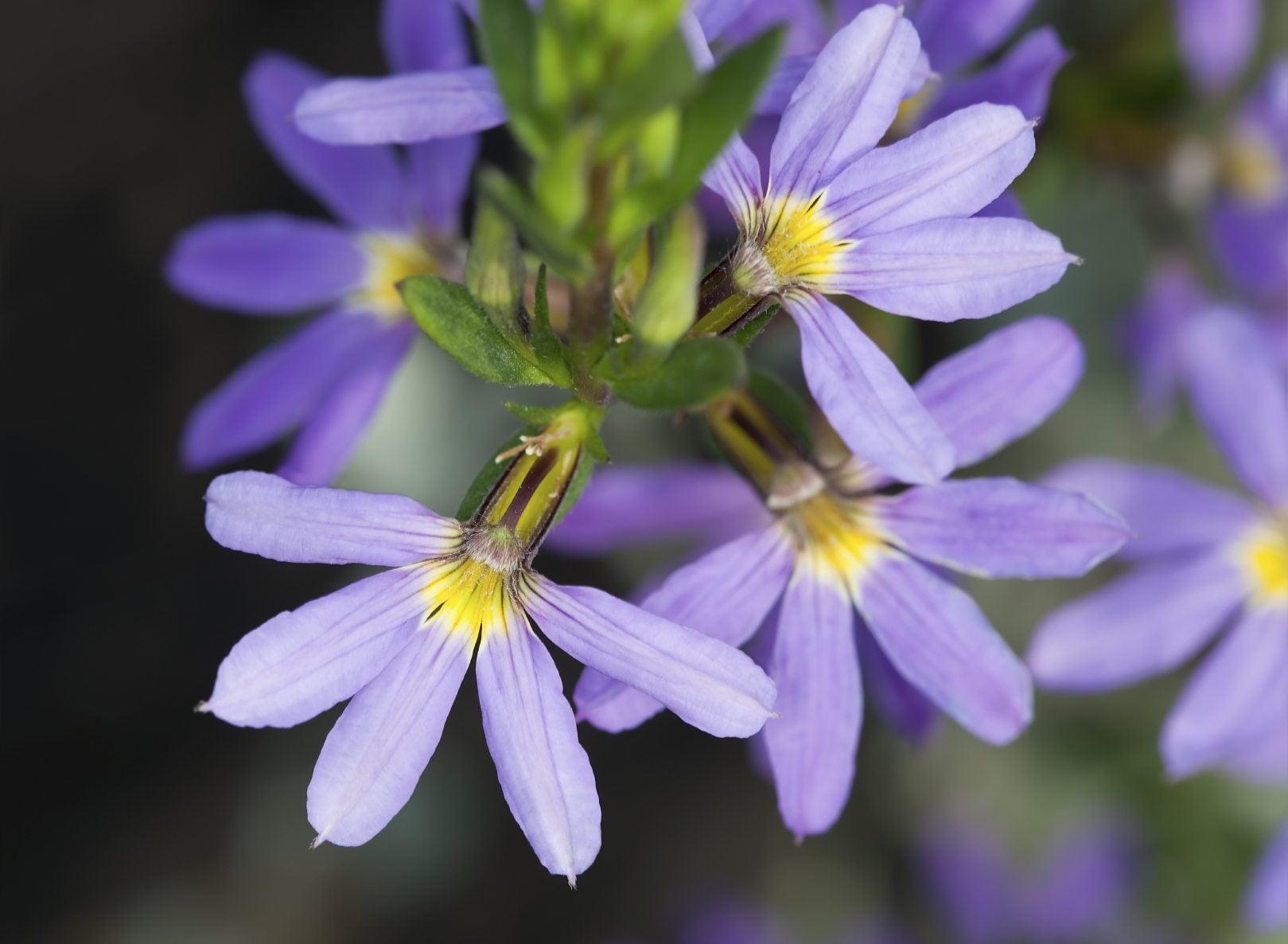 Scaevola Fan Flower Info - How To Grow Fairy Fan Flowers