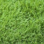 Fresh young green fescue grass in a lawn