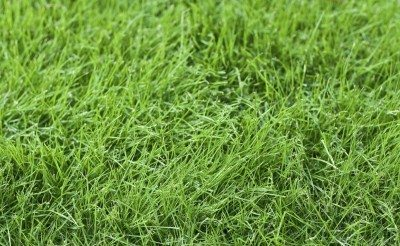 Growing fine fescue: learn about the care and uses for fine fescue