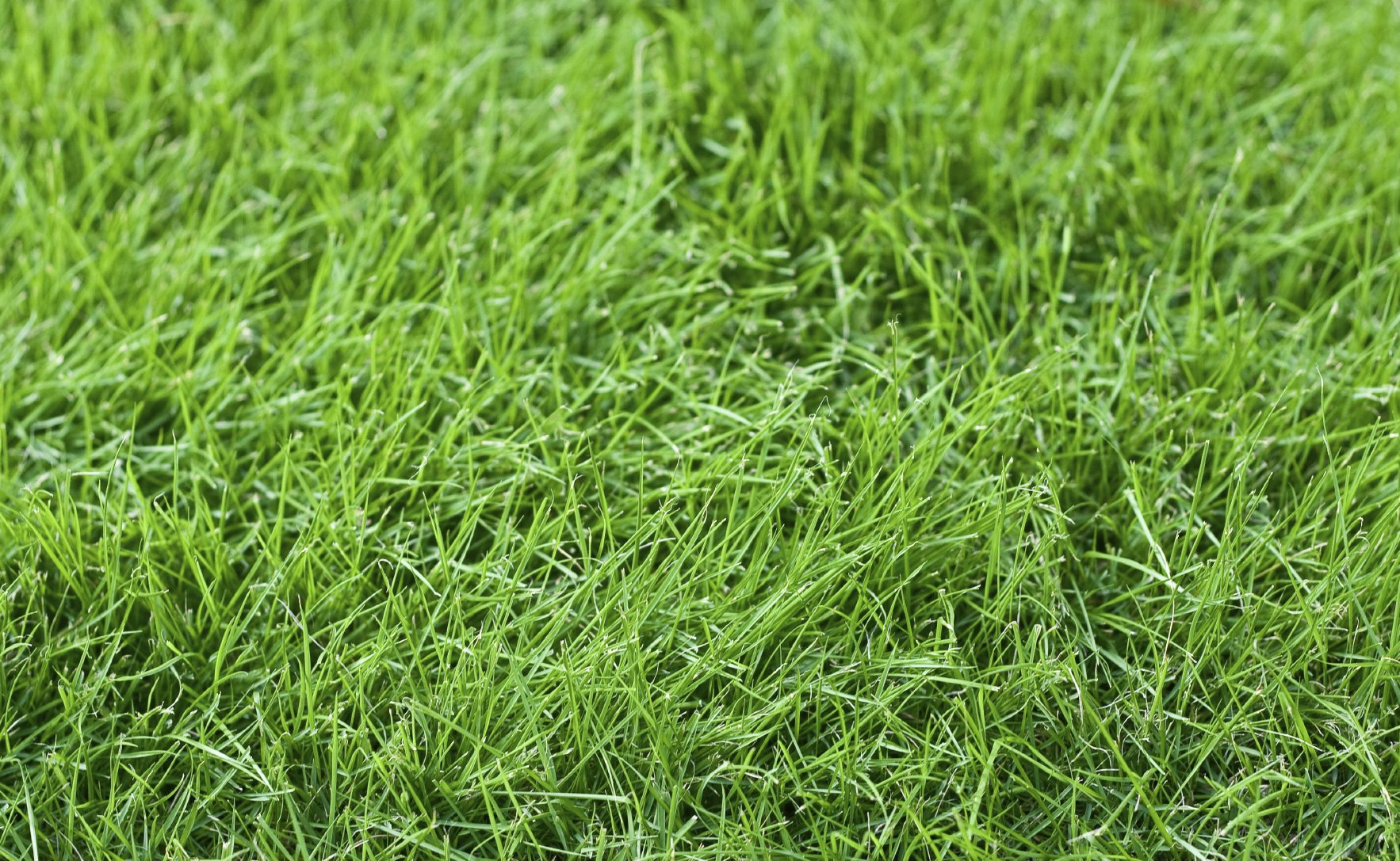 Fine fescue care information and tips on using fine for Tall red grass