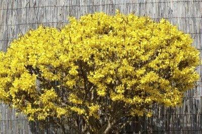 forsythia variety