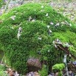 Stone cover with green haircap moss