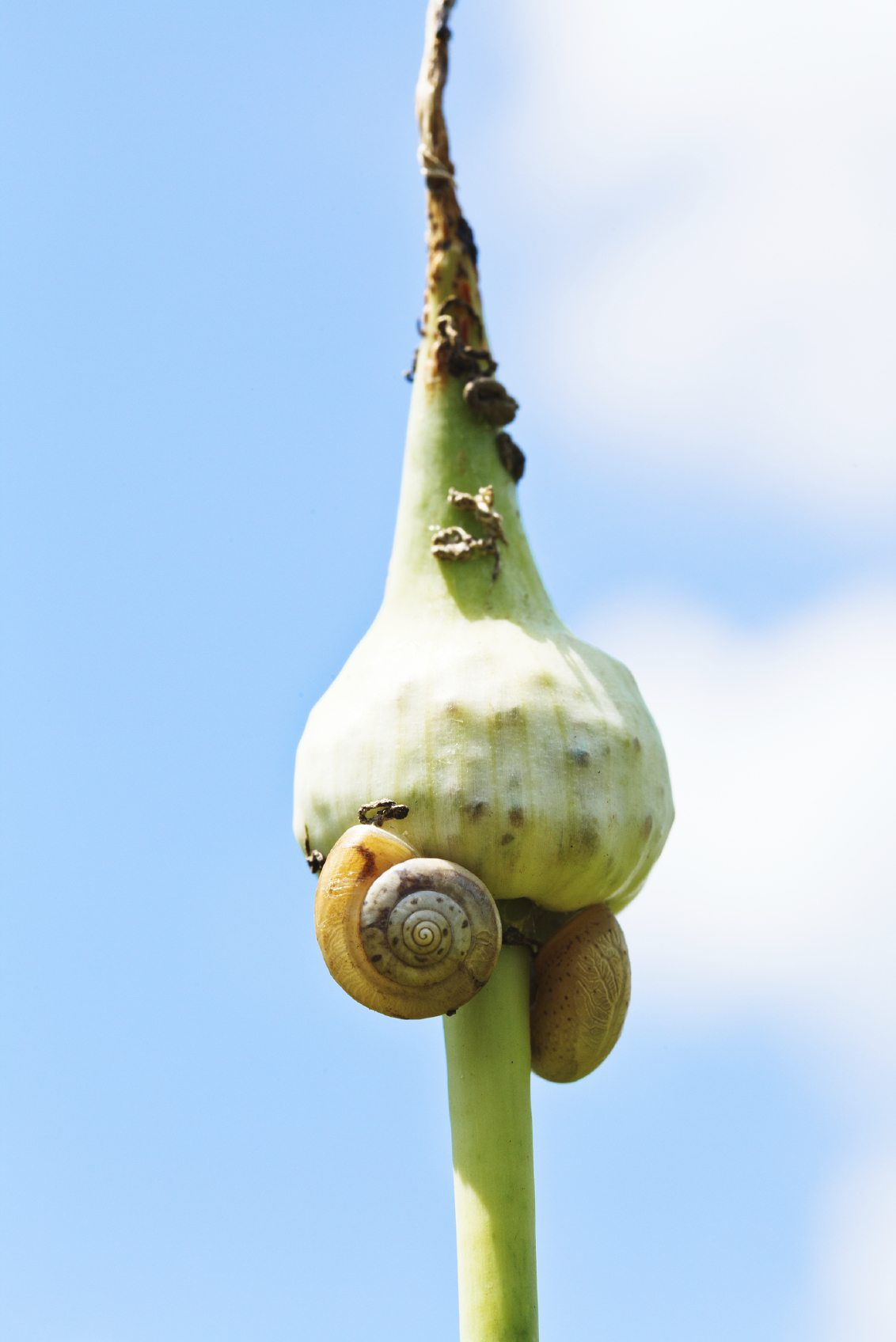 What Are Common Garlic Pests