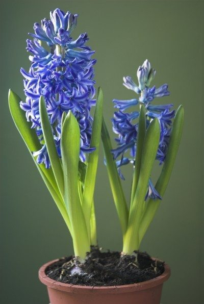 hyacinth care indoors after flowering what to do with indoor