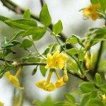 italian-jasmine